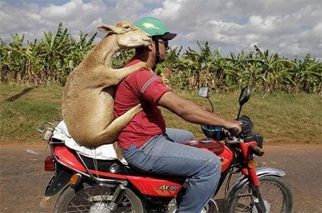 Funny-Goat-11